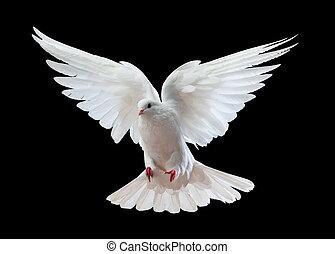 kosteloos, black , vrijstaand, duif, vliegen, witte