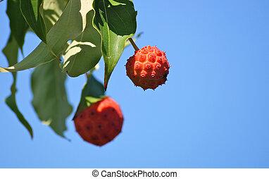 kousa fruit