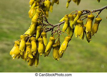 Kowhai Flowers - Bell shape flowers on New Zealands Native...