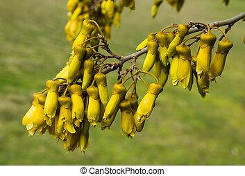 Kowhai Flowers - Bell shape flowers on New Zealands Native...