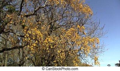 Kowhai tree blossoms