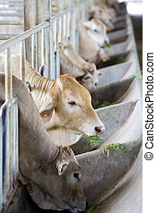 kráva, farma