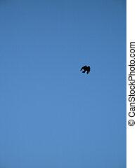 krähe, fliegendes, in, der, blauer himmel