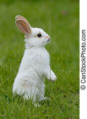 królik, biały