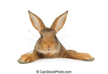 królik, brązowy