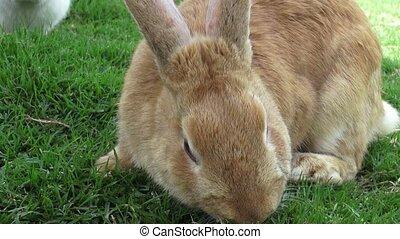 królik, króliki, zając