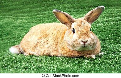 królik, na, trawa