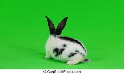 królik, zielony, ekran