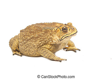 kröte, bufo, (common, toad), isolieren