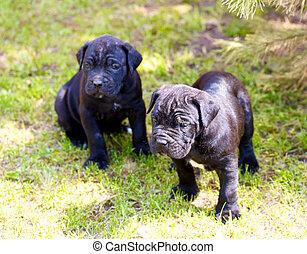 krückstock, corso, junger hund
