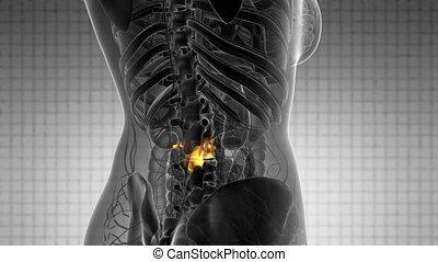 kręgosłup, rentgenowski, szkielet, kość mają rytm