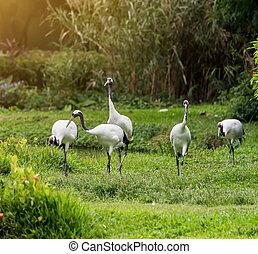 kraan vliegend, dierentuin, red-crowned