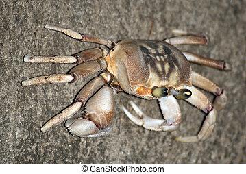 krabbe, ind, zanzibar, tanzania