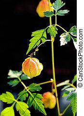 kraeuter, thailändisch, -, sapindaceae