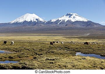 krajobraz, od, andy, góry, z, lamy, grazing.