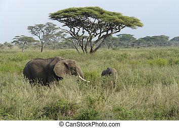krajobraz, słonie, savannah, dwa, wysoki, trawa