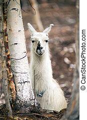 krajowy, lama, kładzenie, zagroda, dobytek, zwierzęta