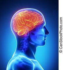 kranium, hjärna, lateral, synbar, mänsklig, synhåll