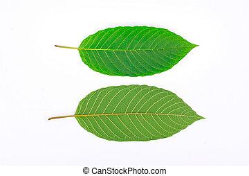 Kratom leaf (Mitragyna speciosa), a plant of the madder ...
