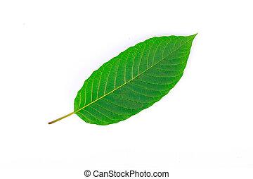 Kratom leaf (Mitragyna speciosa) - The front of Kratom leaf...