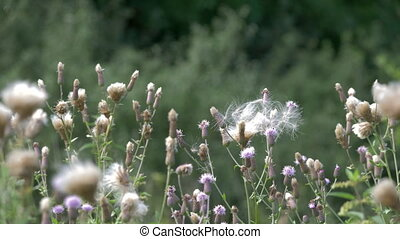 Kratzdistel - Cirsium Arvense - Native version, straight out...