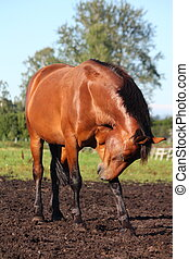 kratzen, pferd, itself
