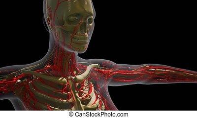 krew, anatomia, naczynia, ludzki, nauka