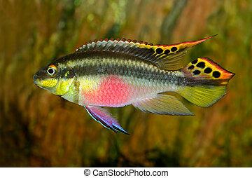 Kribensis (Purple Cichlid) - Colorful kribensis or purple...