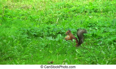 kroki, trawa, wiewiórka