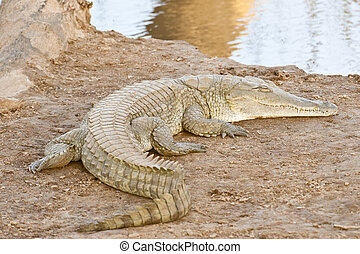 krokodil, avnjut, solsken