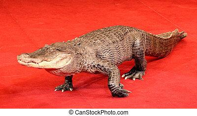 krokodil, reptil