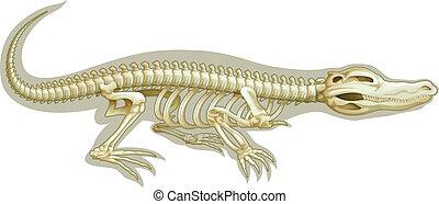 krokodil, system, skelett