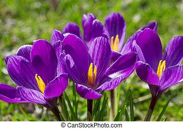 krokus, bloem, closeup
