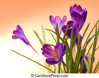 krokus, bloem, in, de, lente