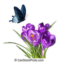 krokus, bouquetten, met, vlinder, vrijstaand, op wit