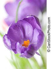 krokus, kytice, osamocený, oproti neposkvrněný, mělký, dof