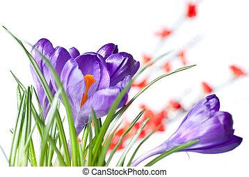 krokus, met, rood, vaag, bloemen