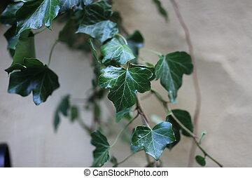 krom, plant, -, klimop