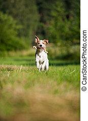 Kromforlander dog in a meadow