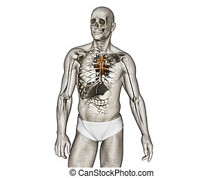 krop, anatomi, menneske