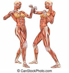 krop, anatomy-street, kvindelig, menneske, bekæmpelsen