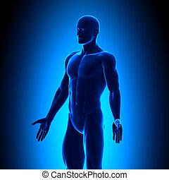 krop, blå, -, anatomi, conc, iso, udsigter