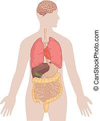 krop, lunger, menneske, -, anatomi, hjerne