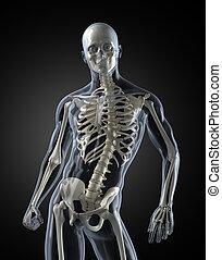 krop, medicinsk, menneske, afsøge