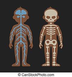 kropp, anatomi, nervös, set., systems., vektor, mänsklig, skeletonand