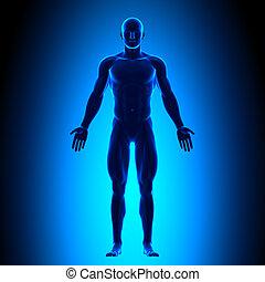 kropp, blå, fyllda, conce, -, framdelen beskådar