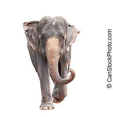 kropp, fyllda, isolerat, ansikte, asiat, bakgrund, elefant,...