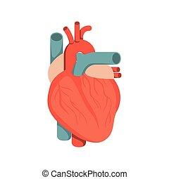 kropp, hjärta, silhuett, färgrik, system, mänsklig