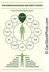 kropp, infographic, vertikal, endocannabinoid, system