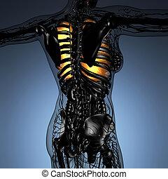 kropp, kvinna, lungan, vetenskap, anatomi, glöd